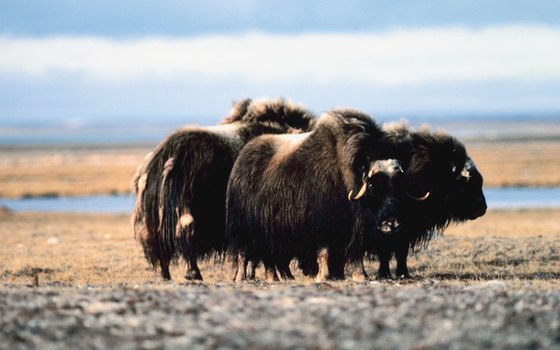 Herds of muskox, reminiscent of the Ice Age, roam the open tundra plain.