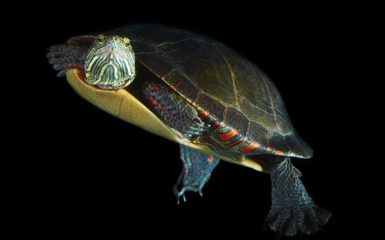 Watch sea turtles in Barbados.