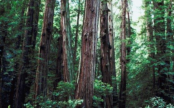 Thick forests of Muir Woods National Monument.