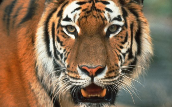 Bengal tigers crown the food chain in Ranthambore.