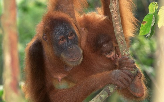 The Los Angeles Zoo features orangutans in its Red Ape Rainforest exhibit.