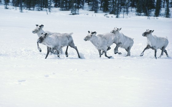 Both woodland and barren-ground caribou inhabit Canada.
