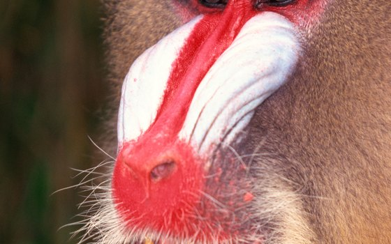 The mandrill, a big, ground-dwelling monkey, lives in huge troops.