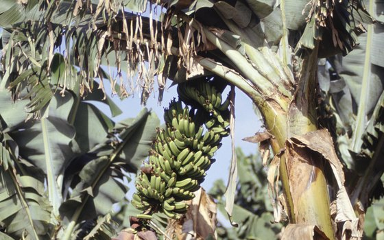 Bananas grow in bunches on tropical trees.