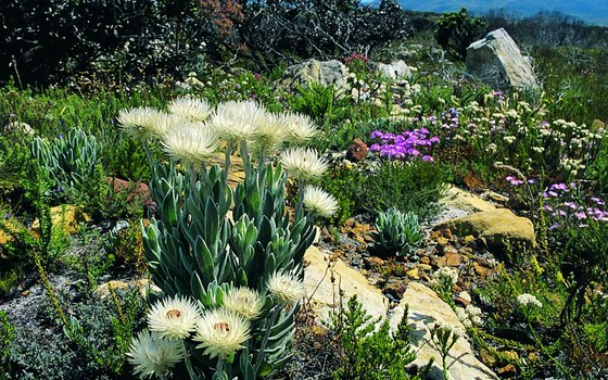 Species of fynbos are common at the Cape.