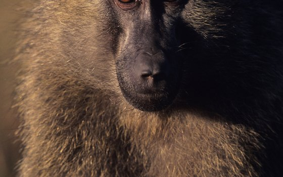 Baboons are unmistakable, volatile and highly social primates of grasslands and woodlands.