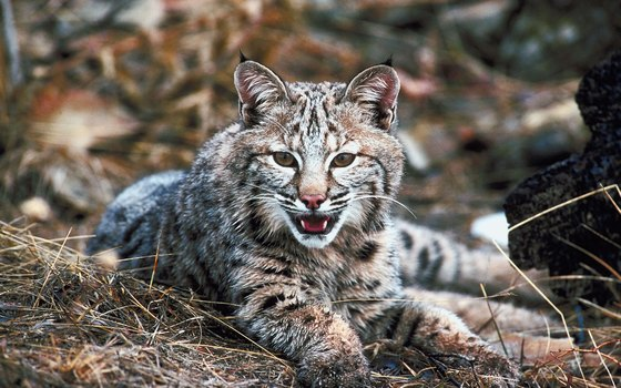 Formidable solitary hunters, bobcats are widespread in the Catskills.