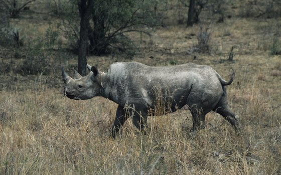 The black rhinoceros inhabits savanna and scrub of sub-Saharan Africa.