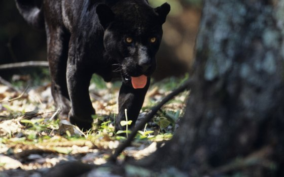 Black jaguars are the king of the Amazon rain forest.