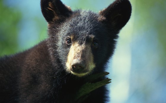 Female black bears usually give birth to two or three cubs.