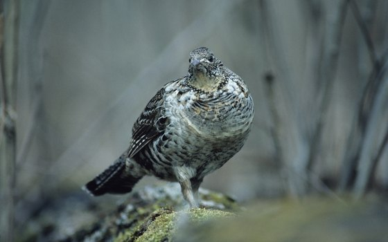 Ruffed grouse are popular gamebirds in the Catskills.