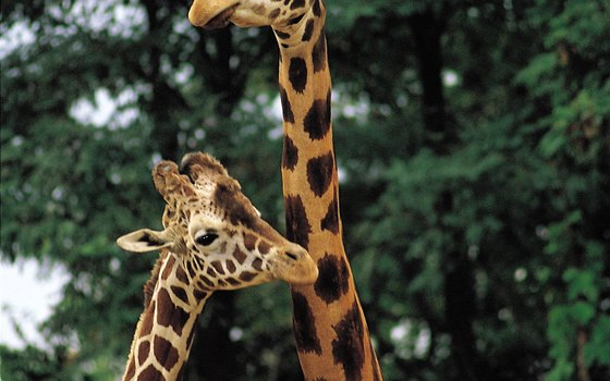 Babies can see giraffes and other animals interact at Seattle's Woodland Park Zoo.