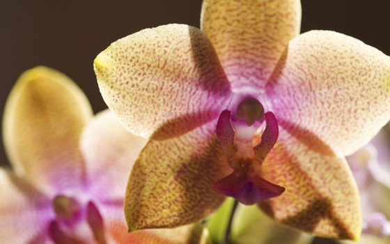 Multiple species of orchids can be found in northeastern India.