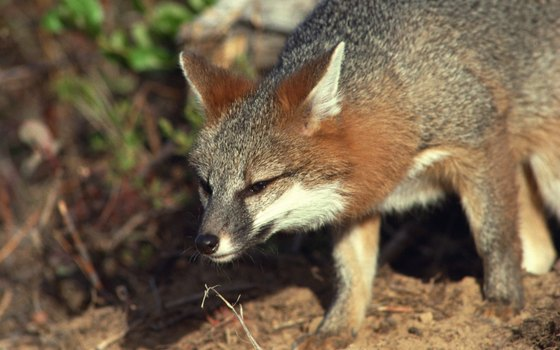 A lucky hiker in the California Coast ranges might spot a gray fox.
