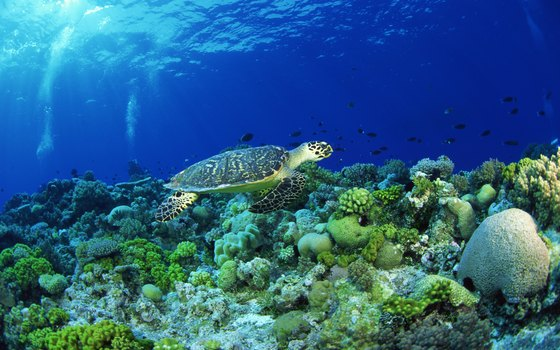 The hawksbill turtle is a marine species found in Senegalese waters.
