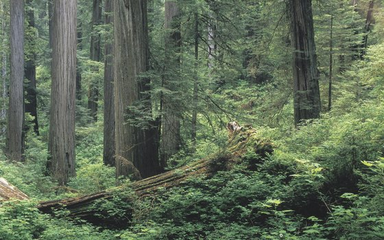 In winter, the damp lushness of a redwood forest can soak clothing.