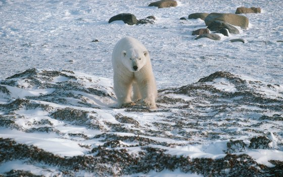 Polar bears roam the coastal lowlands along Manitoba's Hudson Bay shore.