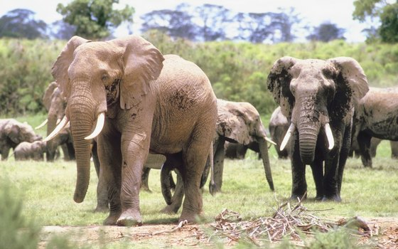 Kenya's wildlife parks still protect large herds of elephants.