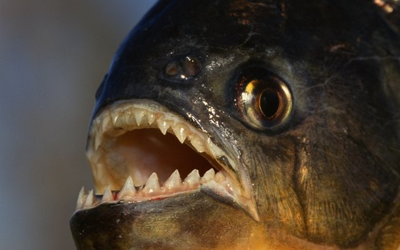 Piranha are perhaps the Amazon's most famous fish.