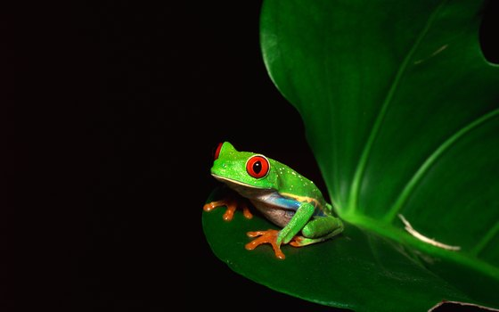 Red-eyed tree frogs are among the rainforest's smaller creatures.