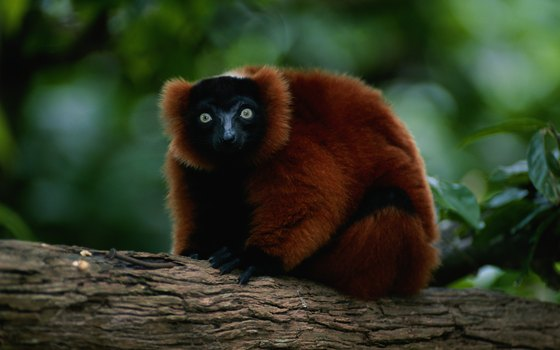 The red ruffed lemur inhabits Madagascar rainforests.
