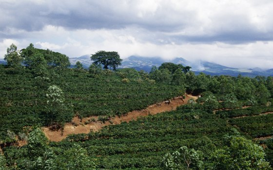 Mandeville's local coffee plantations spread across the green ridgelines.