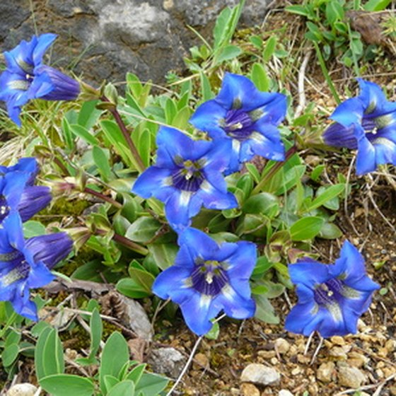 Blue gentian adds metallic sparkle to Italy's spring landscapes.