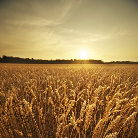 15 percent of people have a wheat intolerance
