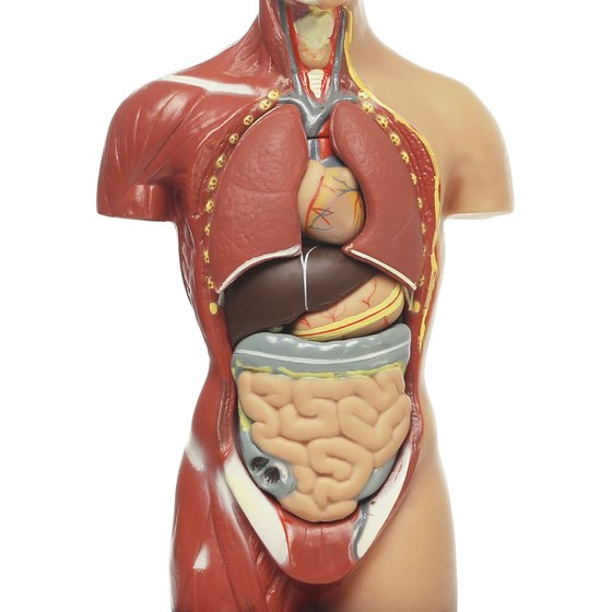 Anatomical model of human body