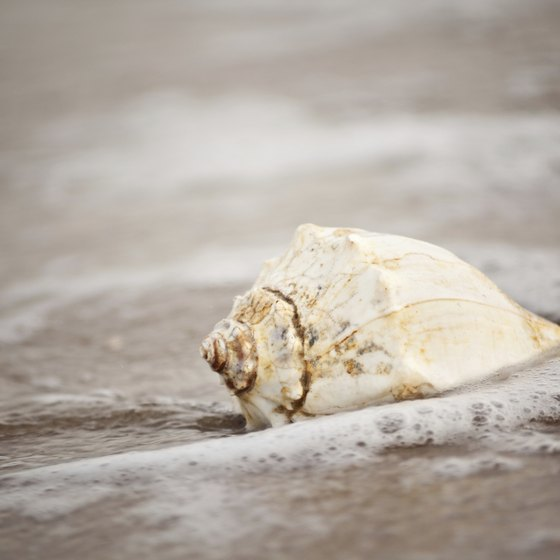 Find whelk shells -- a cousin of the conch -- along Virginia's shores.
