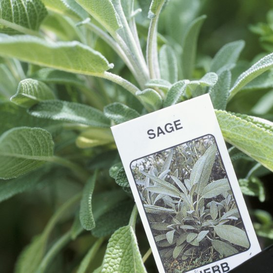 Drinking tea made from dried sage leaves may calm an upset stomach.