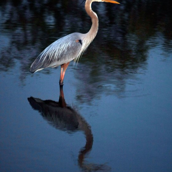 A Great Blue Heron is part of the wildlife at Merritt Island National Wildlife Refuge.