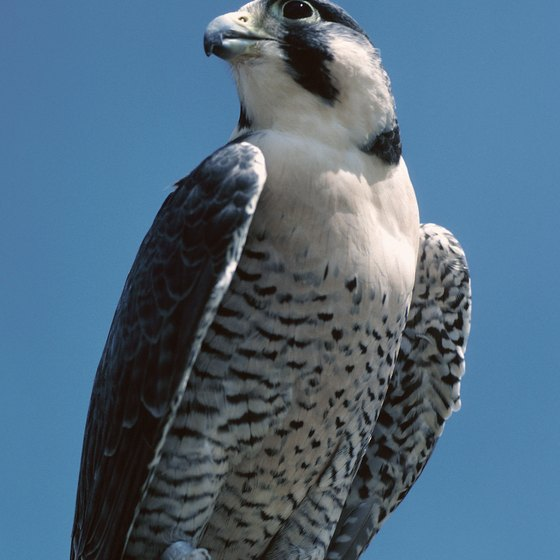 Peregrine falcons are a common site at Morro Bay.