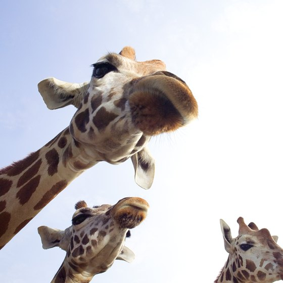 You might receive a kiss from a giraffe at Out of Africa's drive-through experience.