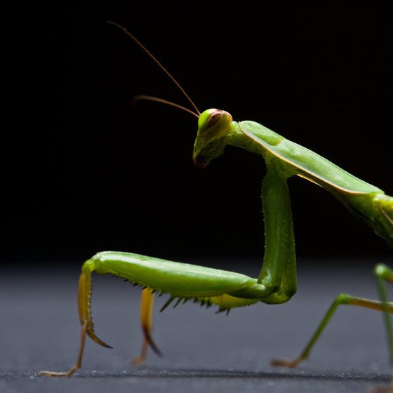 The praying mantis kung fu style takes its name and moves from the insect.