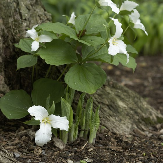 Trillium Trail is named for the white trillium found there.