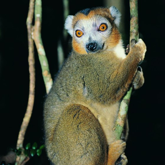 Madagascar is home to 50 species of lemur.