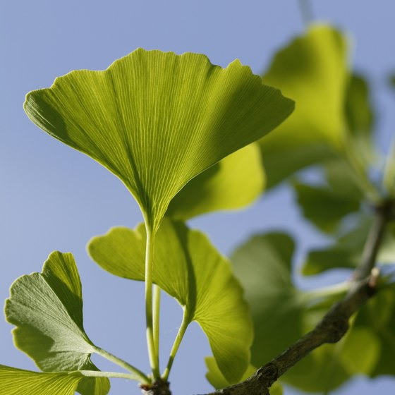 Ginkgo biloba may enhance memory by improving circulation.