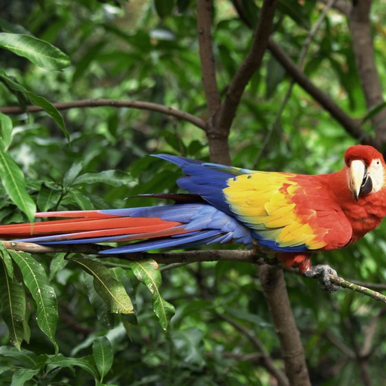 Jungles in Central America are home to a variety of colorful animal species.