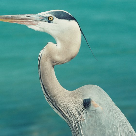 Herons can be seen nesting at Robinson Island in the Gulf Shores area.