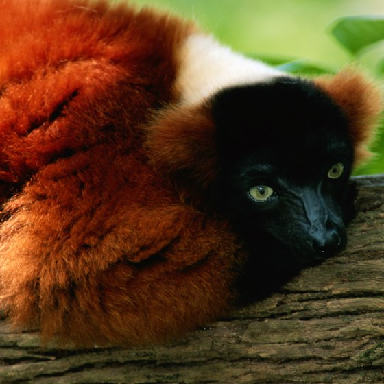 The red-ruffed lemur is found in Madagascar's rainforests.