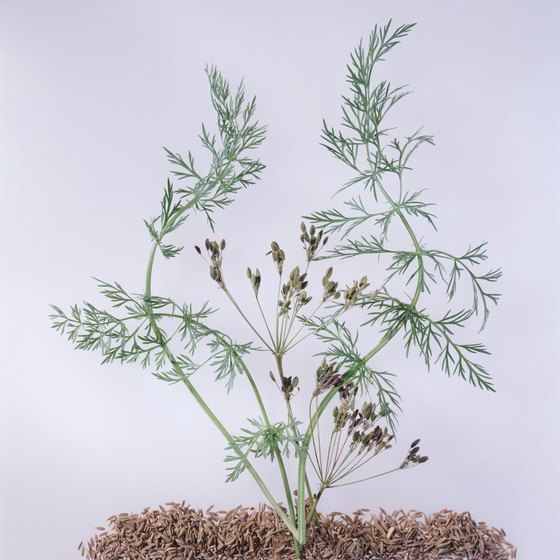 Fennel seed might help prevent ulcers.