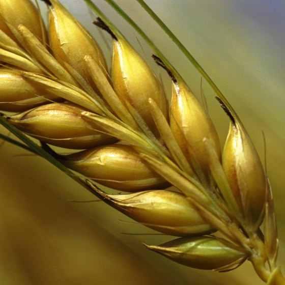 The wheat germ contains vitamins, minerals and healthy fats.