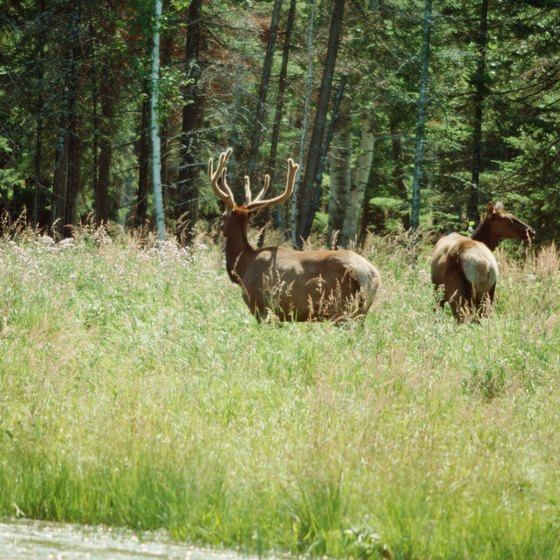 Roaming elk are often seen near the Pine Grove State Forest Campground.