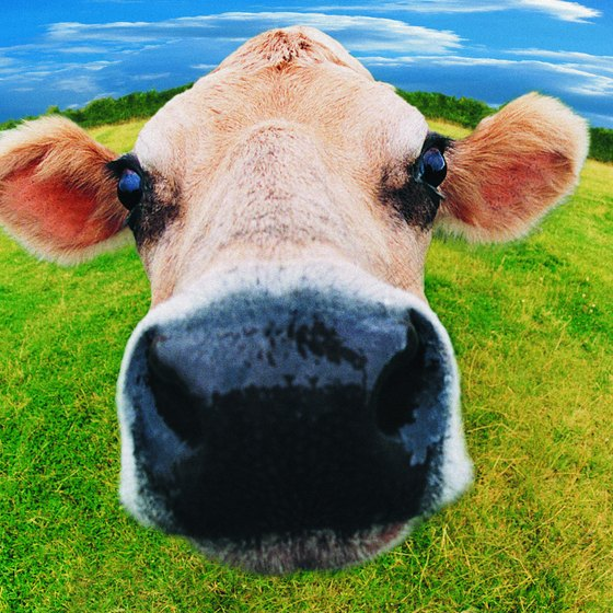 The average U.S. cow produces 11 tons of milk per year.