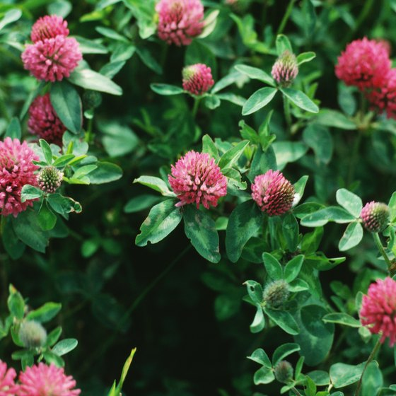 Red clover and other herbal drugs can cause side effects, like any other medicine.