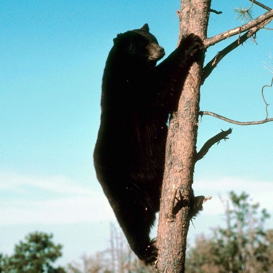 As many as 2,000 bears live in the Catskill Mountains.