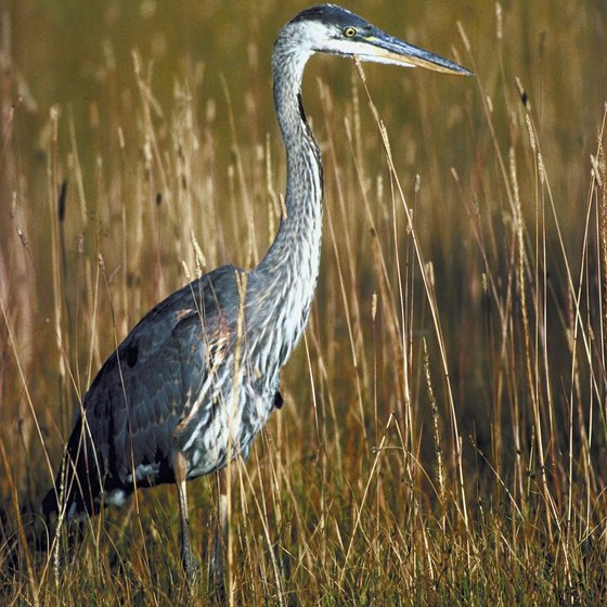 Herons are common in Louisiana bayous.