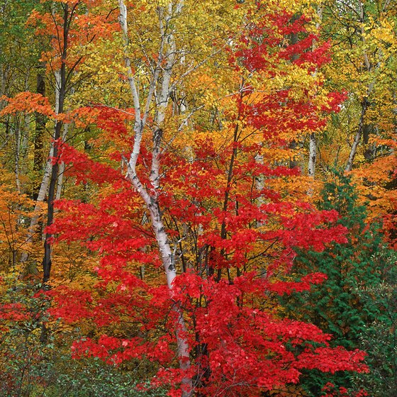 The Maple Leaf Festival was inspired by the autumn colors of the trees.