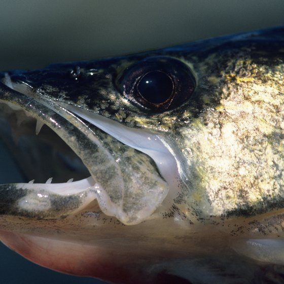 Walleye is one of many fish species found in Lewis & Clark Lake.